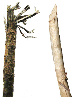 Figure 4 Tree Branch Damage Caused By Deer Browsing Left