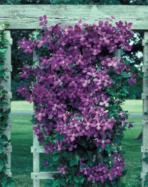 Vining Flowers Perennial