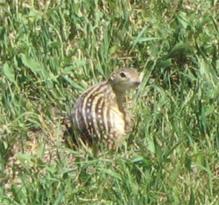 Thir Lined Ground Squirrel Ophilus Tridecemlineatus Photo By Stephen