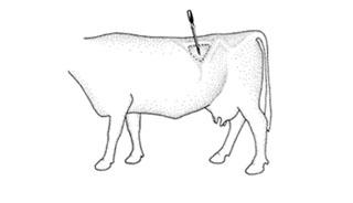 Trocar in Cow