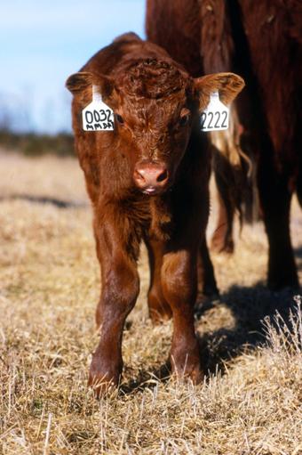 Creep Feeding Beef Calves